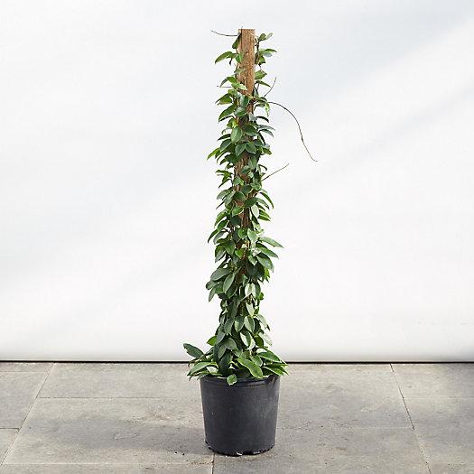View larger image of Hoya Tsangii Totem Plant