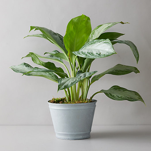 View larger image of Aglaonema Silver Bay Plant, Metal Pot