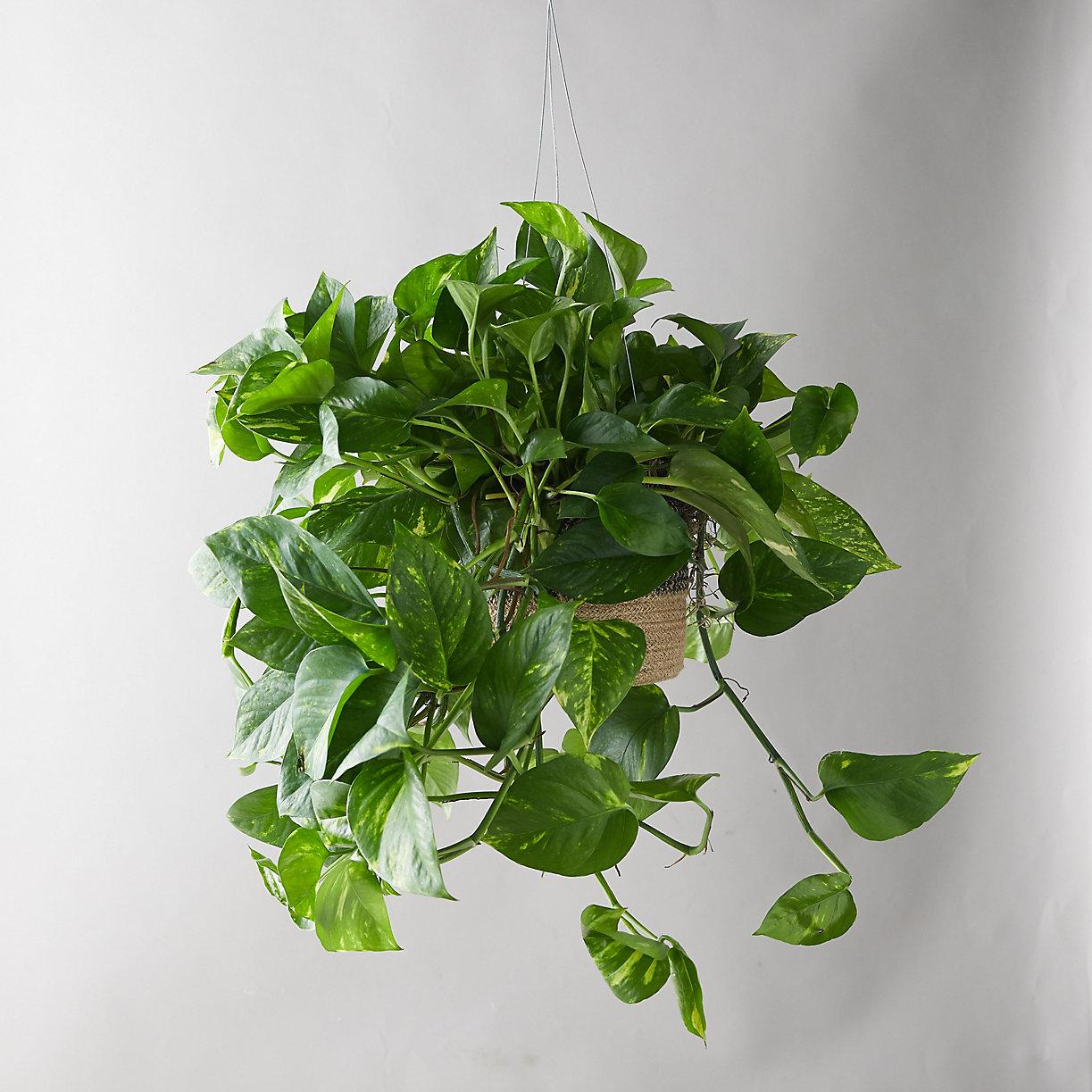 Pothos Plant, Hanging Jute Basket