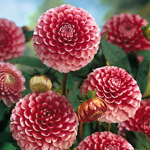 View larger image of Dahlia Little William Bulb