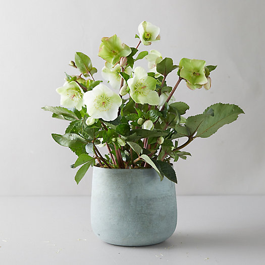 View larger image of Helleborus 'Frost Kiss Molly's White' Plant