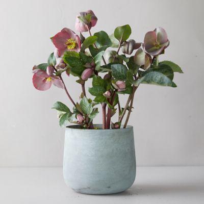 Helleborus 'Frost Kiss Pippa's Purple' Plant