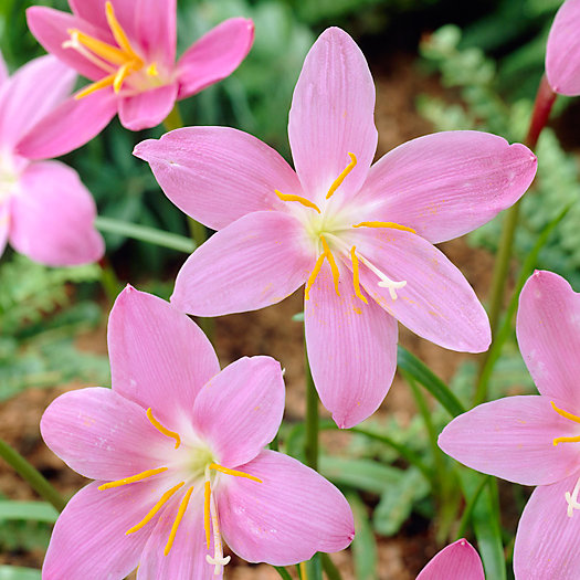 View larger image of Lily Zephyranthes Bulbs