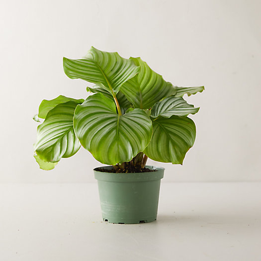View larger image of Calathea Orbifolia
