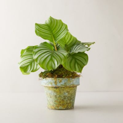 Calathea Orbifolia Plant, Distressed Metal Pot