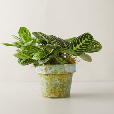 Maranta Lemon Lime Tree, Distressed Metal Pot