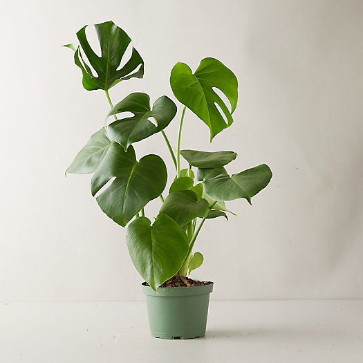 View larger image of Monstera Deliciosa
