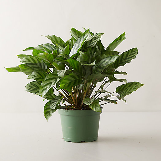 View larger image of Concinna Calathea Plant