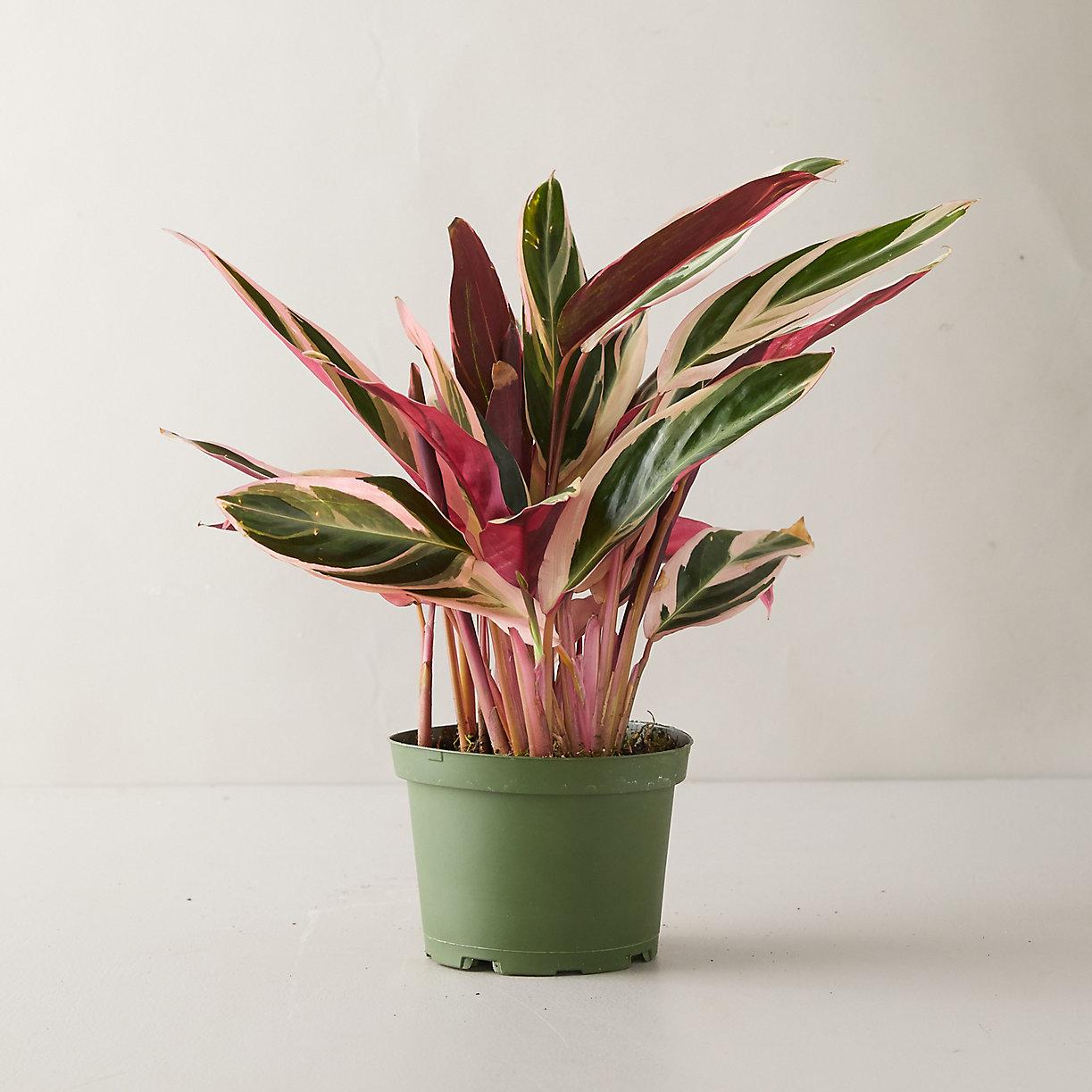 Tricolor Stromanthe Plant