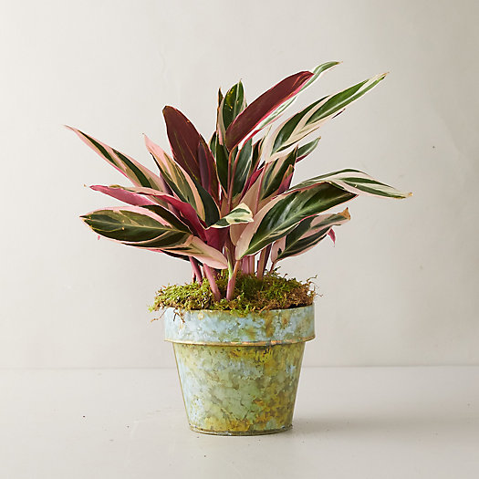 View larger image of Tricolor Stromanthe Plant, Distressed Metal Pot