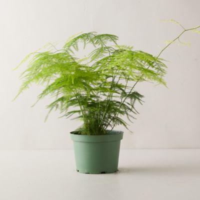 Plumosa Fern Plant