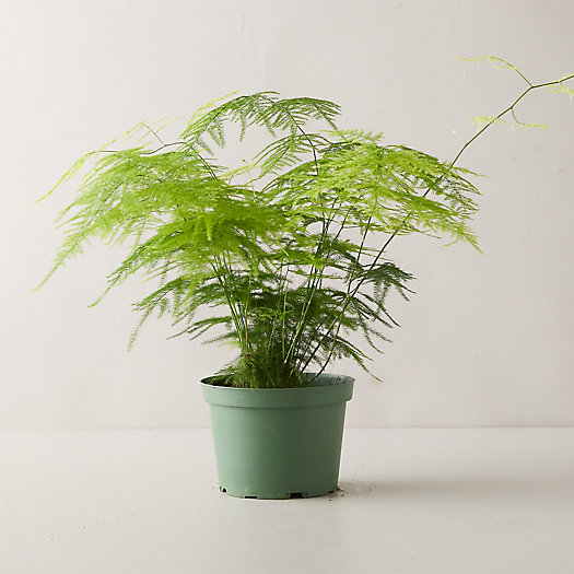 View larger image of Plumosa Fern Plant