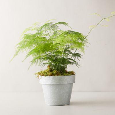 Plumosa Fern Plant, Gray Pot