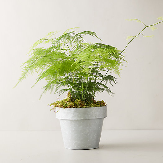 View larger image of Plumosa Fern Plant, Gray Pot