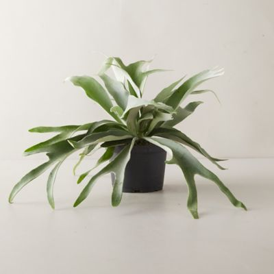 French Staghorn Fern Plant