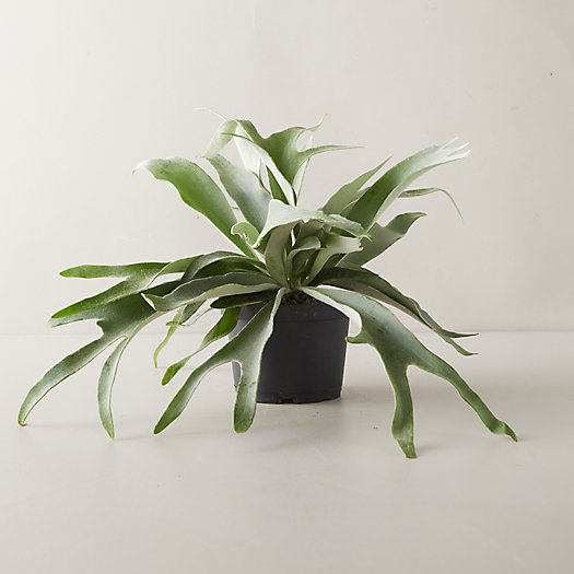 View larger image of French Staghorn Fern Plant