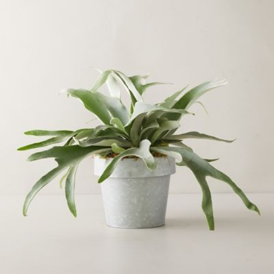 French Staghorn Fern Plant, Gray Pot