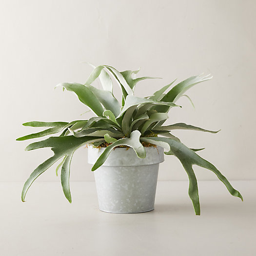 View larger image of French Staghorn Fern Plant, Gray Pot