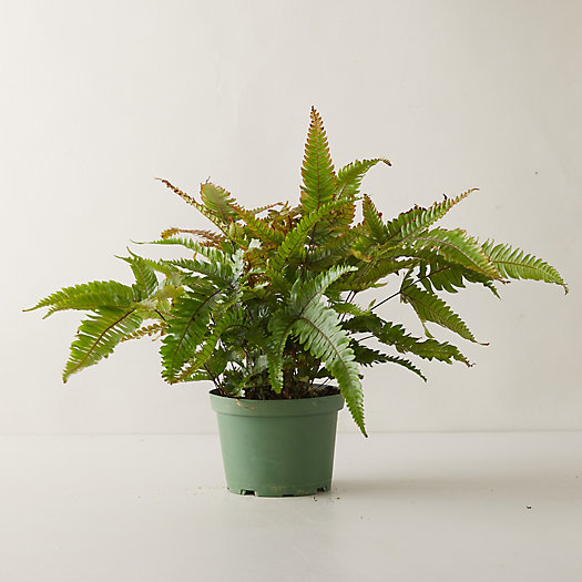 View larger image of Tricolor Fern
