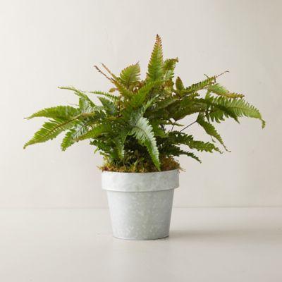 Tricolor Fern Plant, Gray Pot