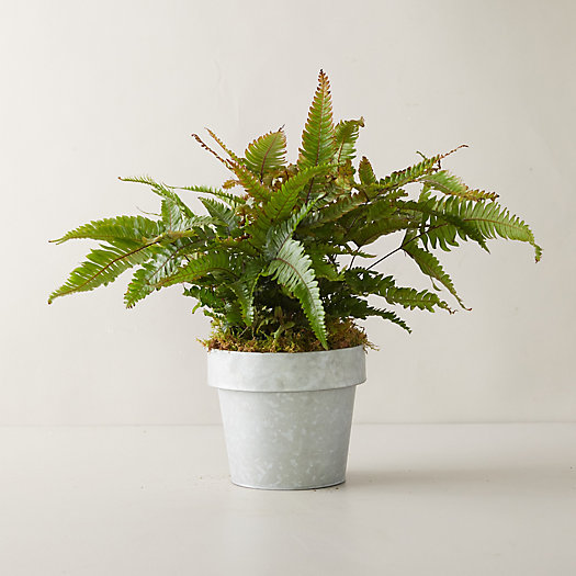 View larger image of Tricolor Fern Plant, Gray Pot