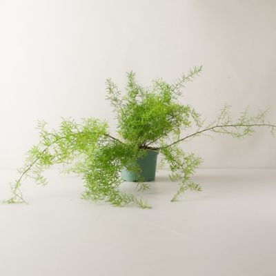 Sprengeri Fern Plant