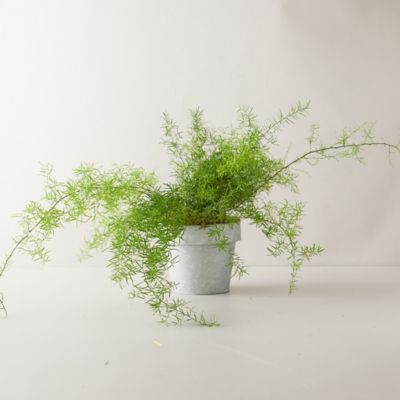 Sprengeri Fern Plant, Gray Pot