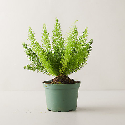 View larger image of Foxtail Fern Plant