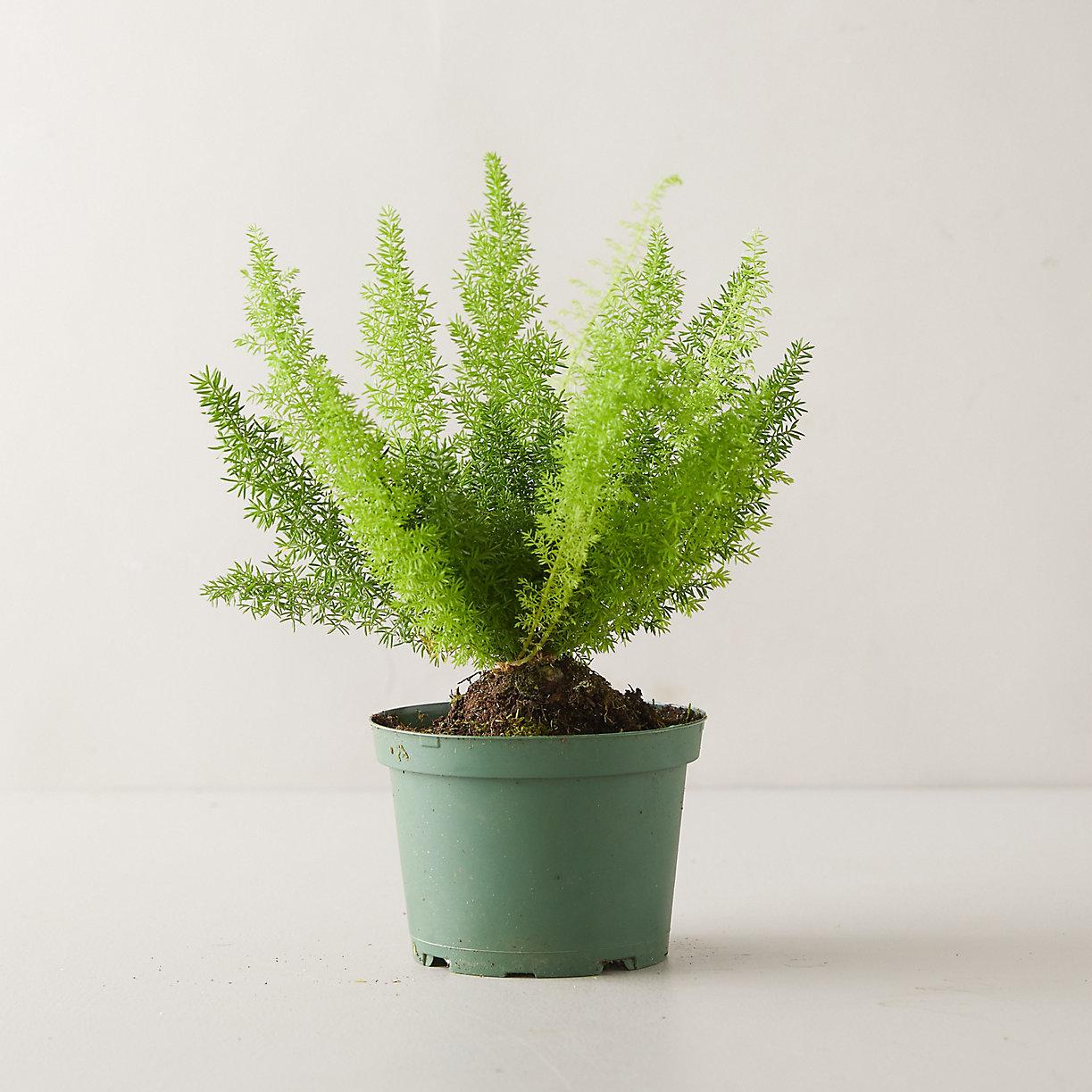 Foxtail Fern Plant
