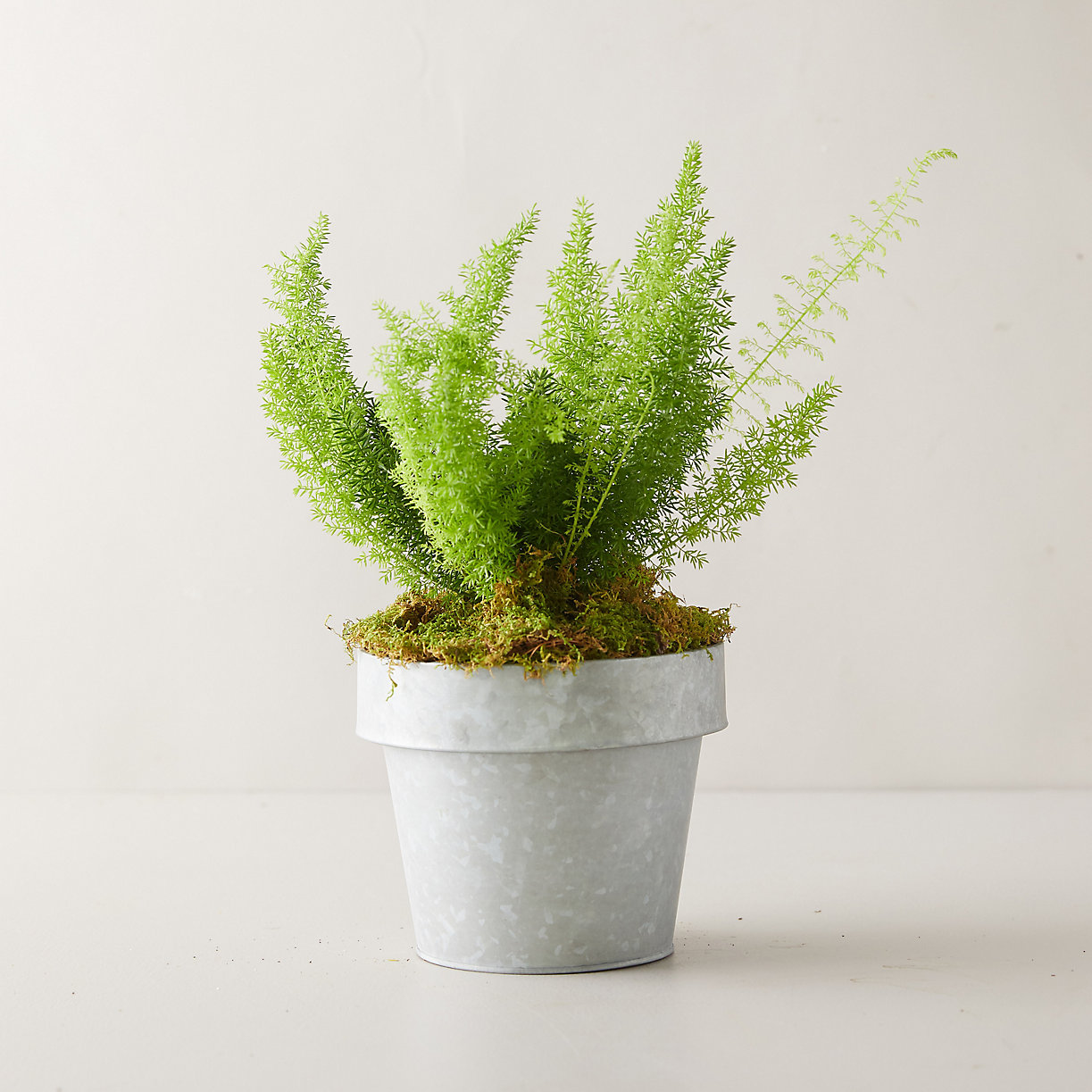 Fern Foxtail Plant, Gray Metal Pot
