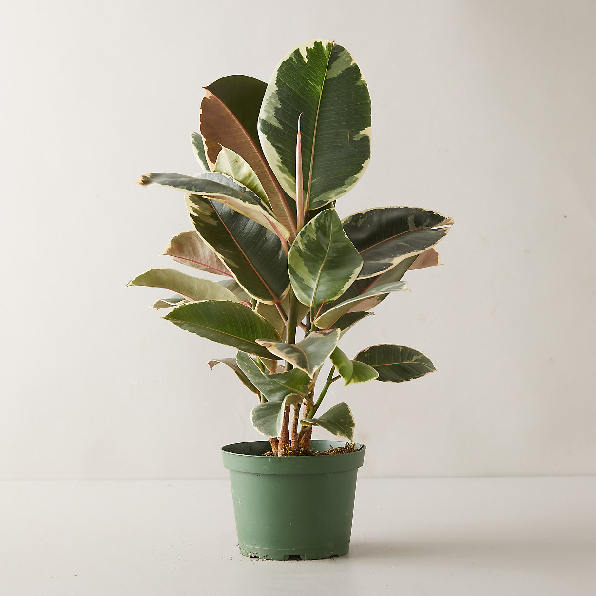 Tineke Ruby Ficus Plant