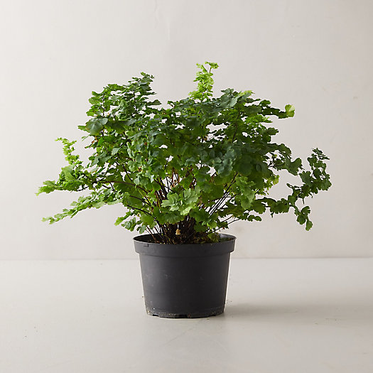 View larger image of Pacific Maidenhair Fern