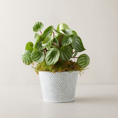 Watermelon Peperomia Plant, Dot Pot