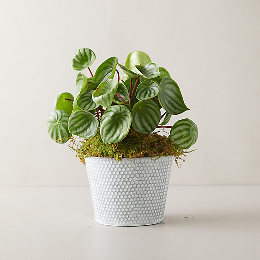 View larger image of Watermelon Peperomia Plant, Dot Pot