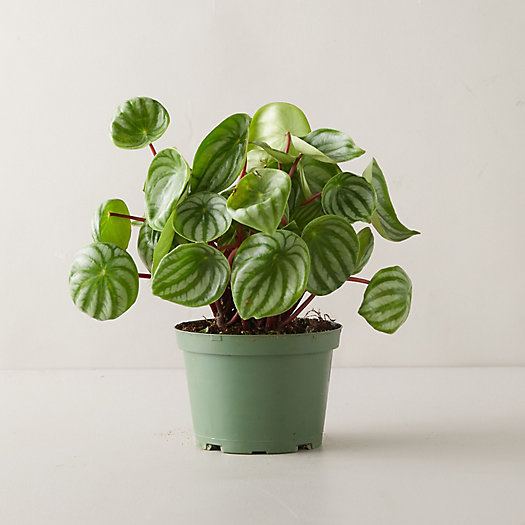 View larger image of Watermelon Peperomia Plant