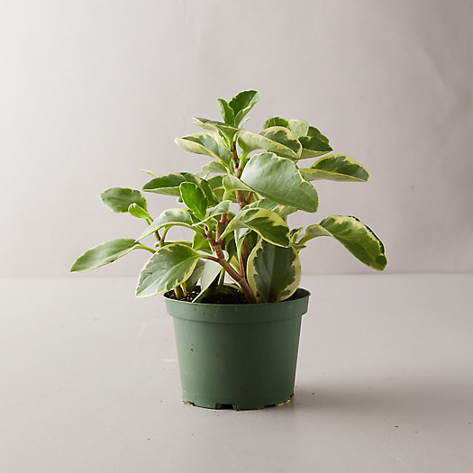 View larger image of Variegated Peperomia Plant