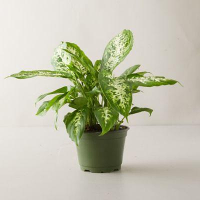 Dieffenbachia 'Camille' Plant