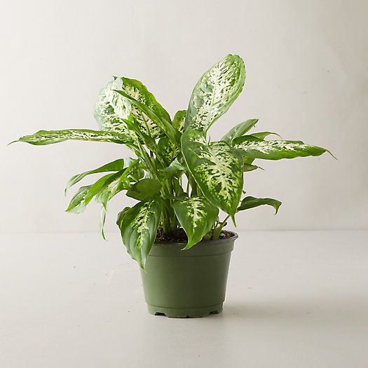 View larger image of Dieffenbachia 'Camille' Plant