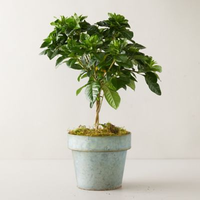 Gardenia Topiary, Gray Pot