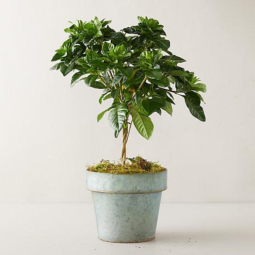 View larger image of Gardenia Topiary, Gray Pot