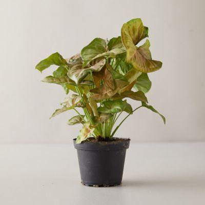 Syngonium podophyllum Merry Plant