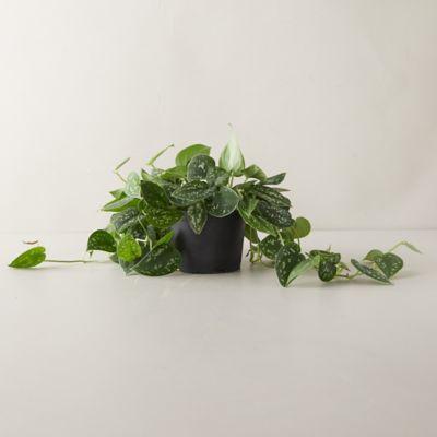Scindapsus Picta Satin Plant