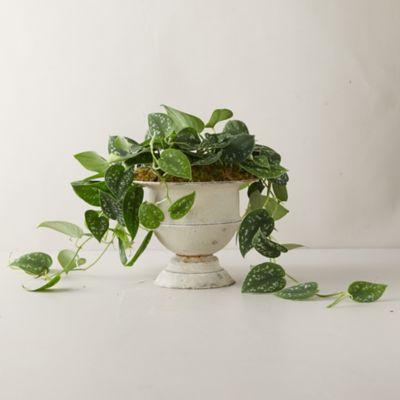 Scindapsus Picta Satin Plant, Metal Urn