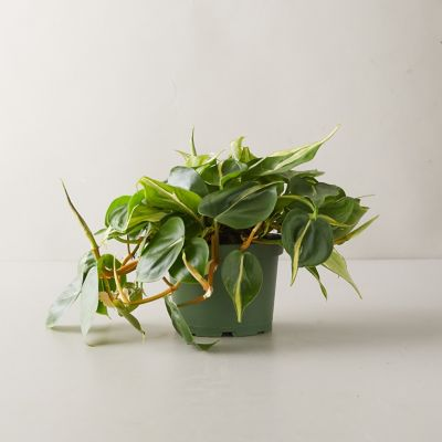Philodendron Yellow Stripe Plant
