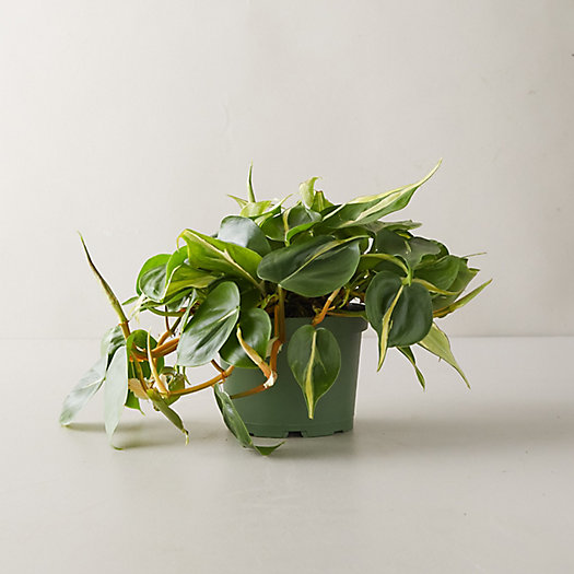 View larger image of Philodendron Yellow Stripe Plant