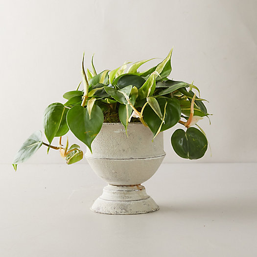 View larger image of Philodendron Yellow Stripe Plant, Metal Urn