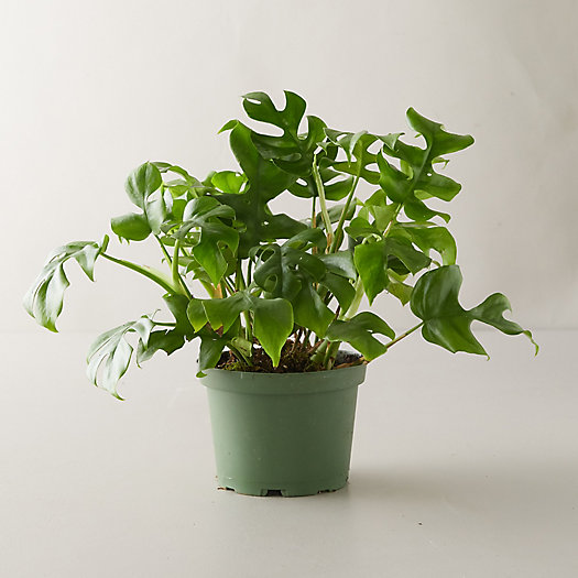 View larger image of Monstera Minima Plant
