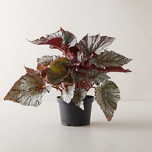 View larger image of Rex Begonia Plant