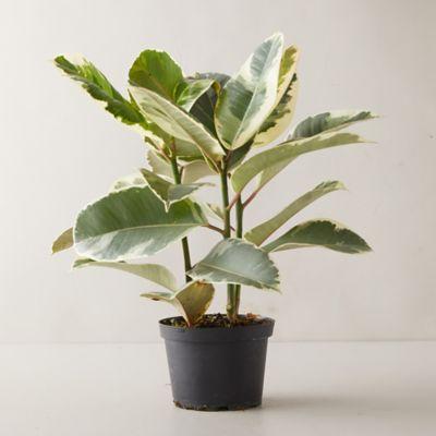 Ficus Tineke Plant