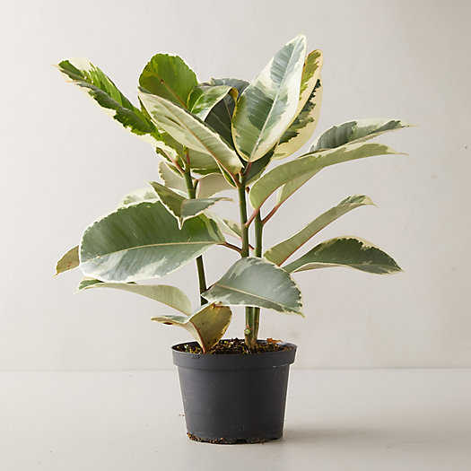 View larger image of Ficus Tineke Plant